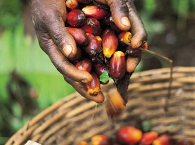 Oil Palm Loose Fruit.jpg